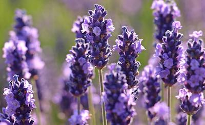 Lavender is a natural remedy for flies